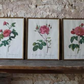 Drie oude botanische rozen prenten