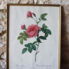 Botanical prints P.J. Redouté in old frames