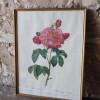 Drie oude botanische vintage prenten met rozen naar schilderijen van P.J. Redouté