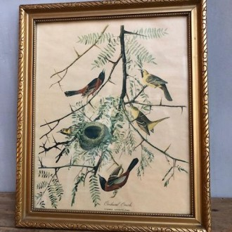 Ingelijste oude vogelprent de Tuintroepiaal (Icterus spurius)